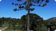 gracious Brazilian pine