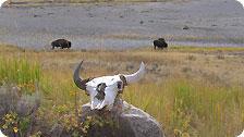 Buffalo Scene