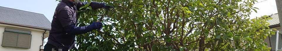 みかんの木の剪定