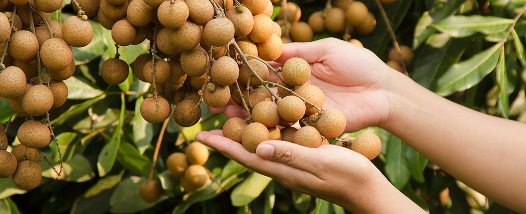 Nhãn sau khi thu hoạch cần làm gì và xuất khẩu ra sao?