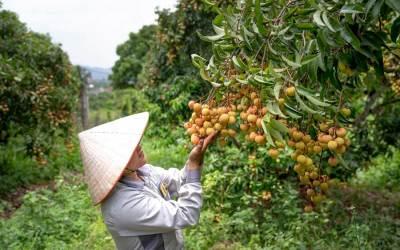 Vải thiều Việt Nam có tiềm năng chinh phục thị trường lớn như thế nào?