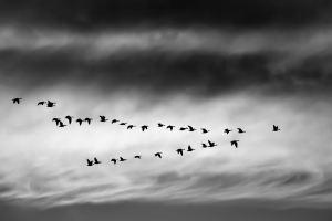 Birds flying in a V shape