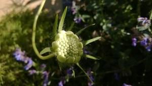 Kaktusskabiosa Scabiosa cauc. `Alba`