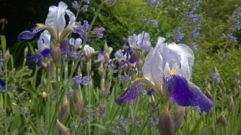 Iris germanica - blå hageiris