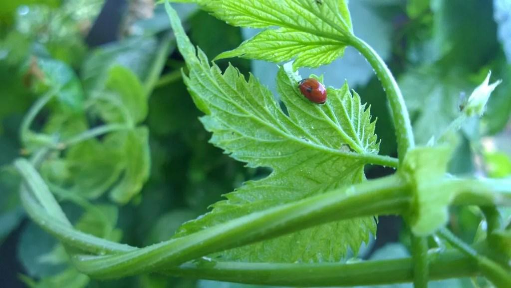 Nytteinsekter som marihøner spiser bladlus