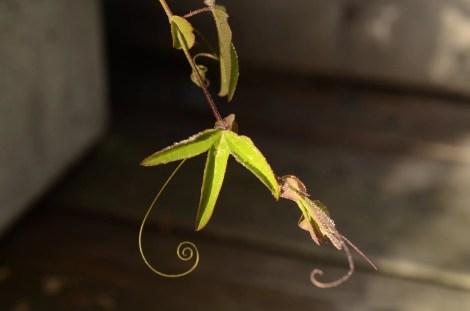 Pasjonsblomst dekorativ slyngtråd