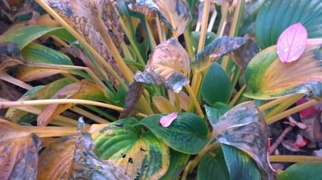 Hosta med høstfargede blader