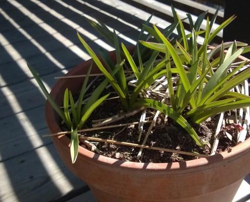Krukke med vårblomstrende løk