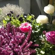 Krukke med vårblomster. Plantekombinasjon