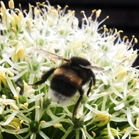 Allium er rik på nektar og tiltrekker seg derfor humler!