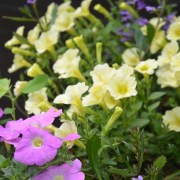 Balkongkasse med Petunia surfina