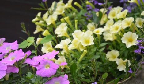 Plantekomposisjon med Petunia surfina og femtunge