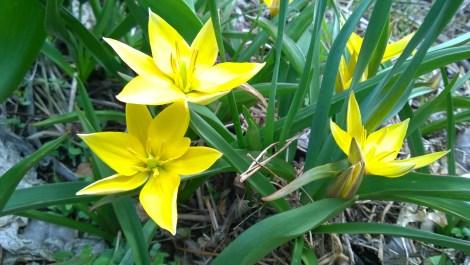 Skogstulipan Tulipa miscellaaneous `Urumiensis`