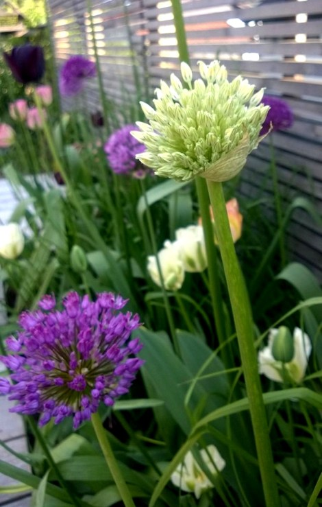Allium aflatunense og Allium Mount Everest sammen med tulipaner og prydgress