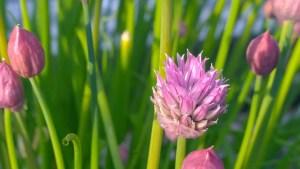 Gressløk Allium schoenoprasum