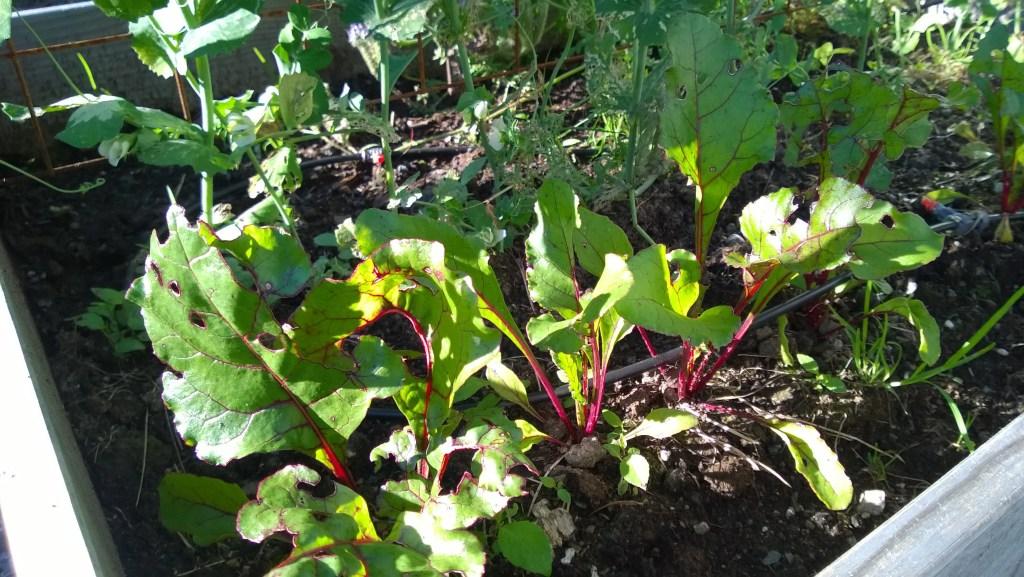 Kjøkkenhage med spirende grønnsaker