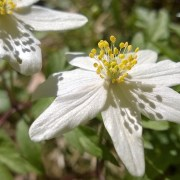 Anemone nemorosa, hvitveis