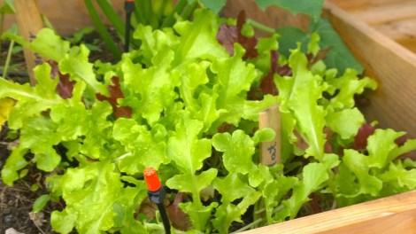 Egendyrket salat, økologiske grønsaker, kortreist mat, kjøkkenhage