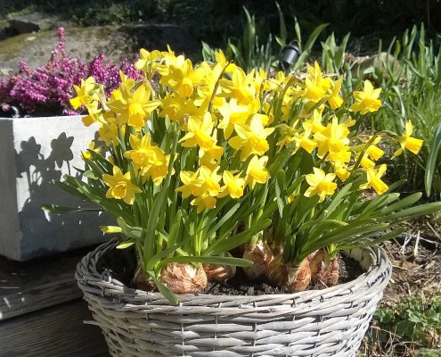Krukke med påskeliljer