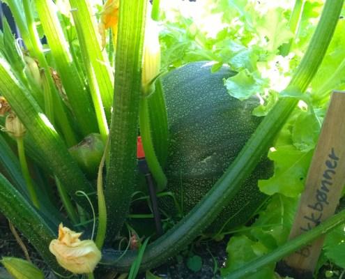 Dyrke selv. Frodig pallekarm med squash og salat.
