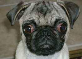 7 kondisi yang perlu diwaspadai anjing rahang pendek brachycephalic tanya dokter hewan