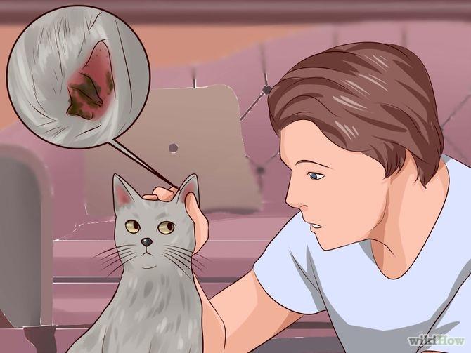 6 penyebab radang telinga pada kucing (otitis) yang penting Anda ketahui