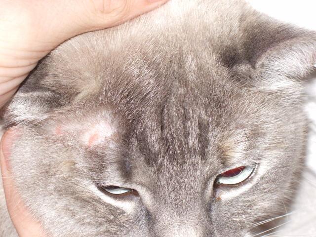 5 Gejala penyakit kulit pada kucing atau Anjing yang wajib Anda ketahui