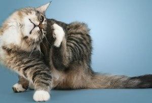 Cara mencegah dan mengobati penyakit kulit scabies pada Kucing dan Anjing