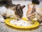Bolehkah kucing makan nasi