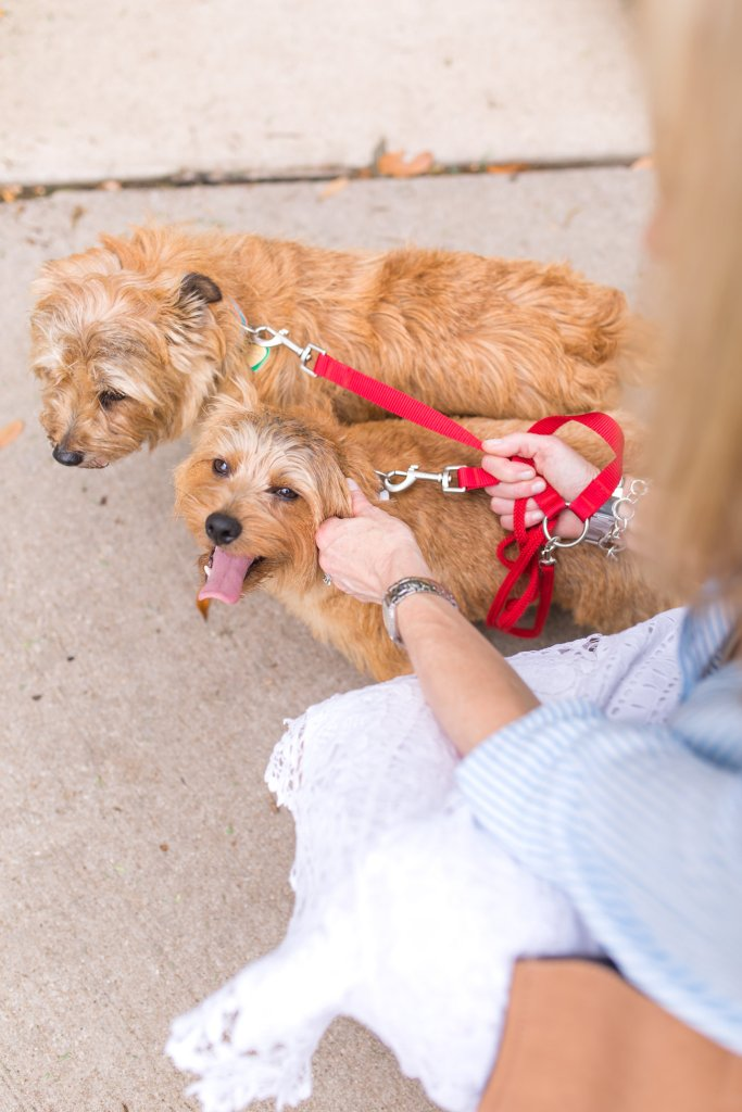 Talbots, Sparky and Max Foster, norfolk terrier, tanyafoster.com