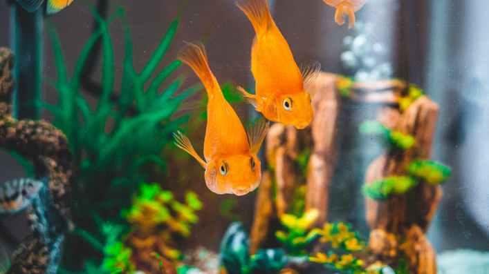 goldfish in fish tank