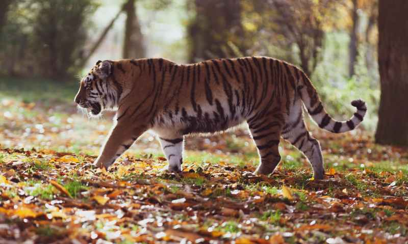 gray and black tiger walking on forest