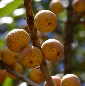 tropical fruit tree