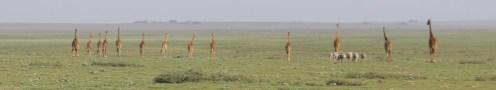 Giraffes on the Plain