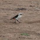White Headed Buffalo Weaver