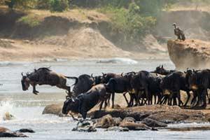 טיול מאורגן לטנזניה – הנדידה הגדולה באוגוסט