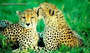 Voyage Tanzanie. Les guépards amoureux Serengeti Tanzanie. Safari tanzanie classique