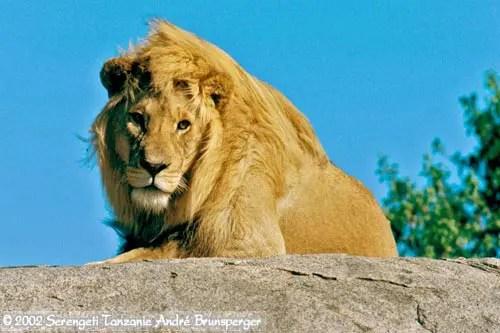 Lion dans le Serengeti en Tanzanie