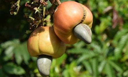 Cashew – die Powernuss!