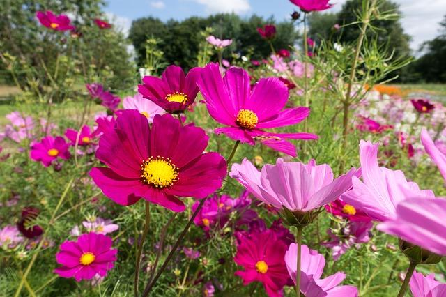 Pflanzenmagie: Cosmea