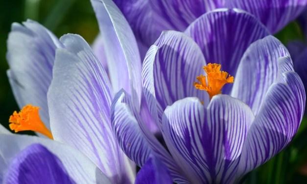 Pflanzenmagie: Krokus