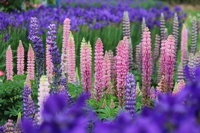Pflanzenmagie: Lupine