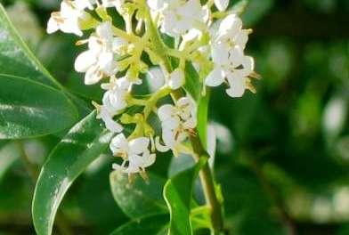 Pflanzenmagie: Liguster