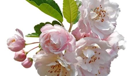 Bachblüten stellen sich vor – Heute: Crab Apple
