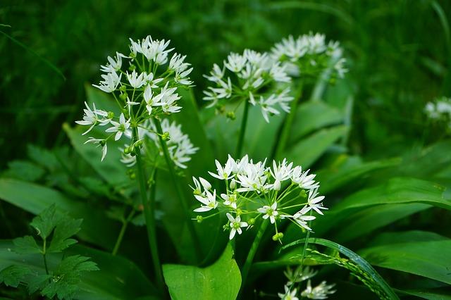 Pflanzenmagie: Bärlauch