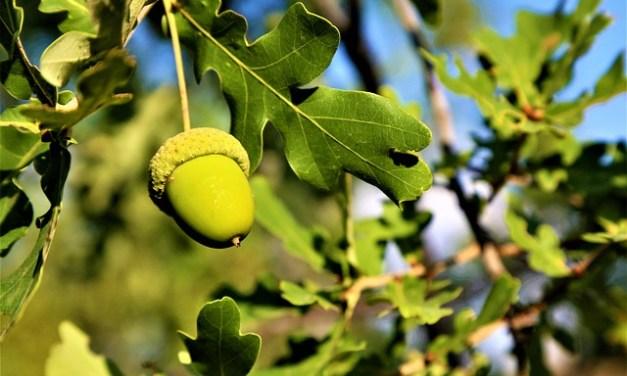 Bachblüten stellen sich vor – heute: Oak