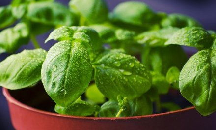Pflanzenmagie: Basilikum