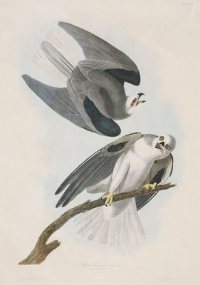 "John James Audubon, Black Winged Hawk, Original Print from 2nd Edition of ""Birds of America"" 32"" x 23"""