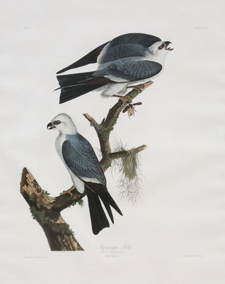 "John James Audubon, Mississippi Kite, Original Print from the First Edition of ""Birds of America"" 30"" x 24"""