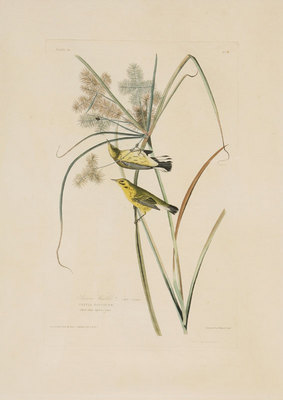 "John James Audubon, Prairie Warblers, Original print from the First Edition of ""Birds of America"" c. 1840, 25"" x 18"""